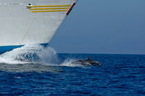 Two bottlenose dolphins (tursiops truncatus) swimming in front of a ship von Sami Sarkis Photography
