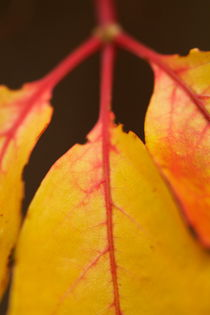 Ivy leaves during Autumn. by Sami Sarkis Photography