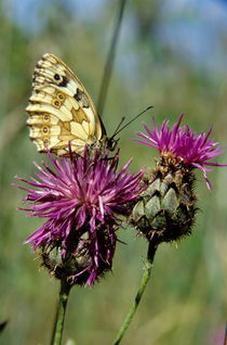 Rm-butterfly-flowers-perched-var165
