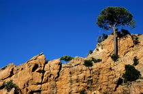 Pine trees growing on a rocky cliff by Sami Sarkis Photography
