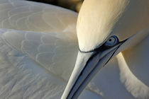 Portrait of a Northern Gannet (Morus bassanus) at sunrise von Sami Sarkis Photography