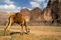 Camel grazing in a desert landscape by Sami Sarkis Photography