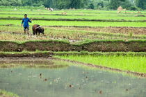 Rm-buffalo-china-man-rice-paddy-rural-working-chn1373