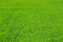 Bright green grass of a rice paddy by Sami Sarkis Photography