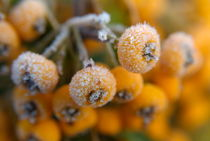 Frozen dew droplets on a yellow berried pyracantha. by Sami Sarkis Photography
