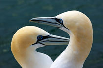 Portrait of a pair of Northern Gannets (Morus bassanus) by Sami Sarkis Photography