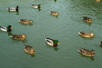 Group of male and female ducks on the water by Sami Sarkis Photography