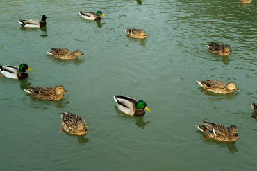 Rm-ducks-swimming-togetherness-wildlife-ani116