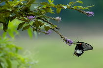 Rf-beauty-branch-butterfly-guangxi-perching-chn1833