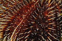 White Sea Urchin (Tripneustes depressus) by Sami Sarkis Photography