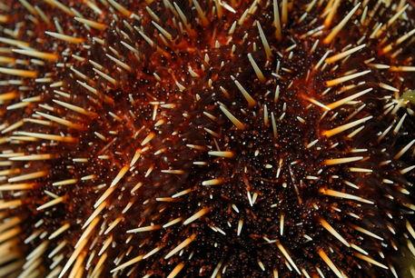 Sea-urchin-galapagos-rm-glp-uwd4921
