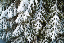 Snowy fir tree branches in the French Alps by Sami Sarkis Photography
