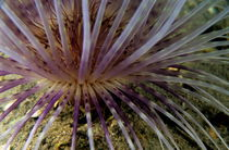 Sea anemona detail von Sami Sarkis Photography