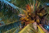 Rf-coconuts-growth-leaves-maldives-palms-tree-mld0241