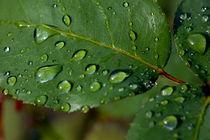 Drops on a rose leaf after a rain shower. von Sami Sarkis Photography