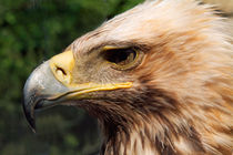Portrait of a golden eagle. by Sami Sarkis Photography