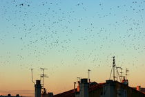 Flock of swallows flying over rooftops at sunset during fall. by Sami Sarkis Photography