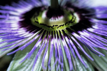 Stamen of a Passionflower (Passiflora edulis) by Sami Sarkis Photography