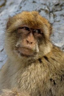 Rm-angry-gibraltar-rock-ape-wildlife-adl1433