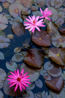 Water Lillies (Nymphaeaceae) in a pond von Sami Sarkis Photography