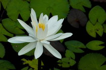 White Lotus flower (Nymphaeaceae) and leaves von Sami Sarkis Photography