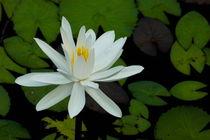 Rf-beauty-in-bloom-water-lily-white-yangshuo-chn1958