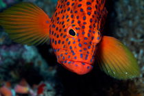 Brightly colored and spotted Vermillon Rock Cod (Cephalopholis miniata) by Sami Sarkis Photography
