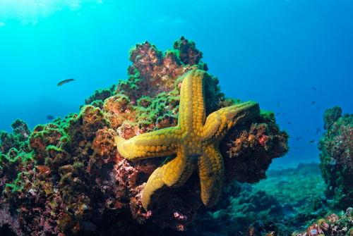 Yellow-starfish-underwater-galapagos-rm-glp-uwd4785