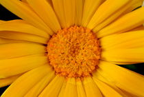 Close up of a yellow daisy by Sami Sarkis Photography