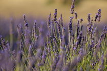 Purple flowers in a lavender field during summer von Sami Sarkis Photography