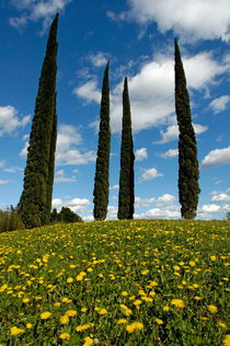 Cypress trees in a meadow in springtime von Sami Sarkis Photography