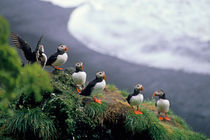 Six puffins perched on a rock von Sami Sarkis Photography