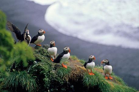 Rf-perching-puffins-rock-wildlife-cor044