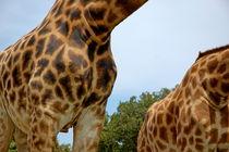 Rf-animals-giraffes-pattern-safari-animals-skin-ani444