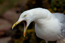 Portrait of a seagull calling with his mouth open. von Sami Sarkis Photography