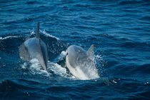 Two bottlenose dolphins (tursiops truncatus) swimming von Sami Sarkis Photography