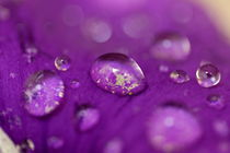 Drops on a purple petal of a viola pansy flower after rain shower. von Sami Sarkis Photography
