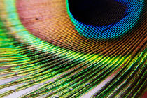 Vibrant colours of a peacock feather. by Sami Sarkis Photography