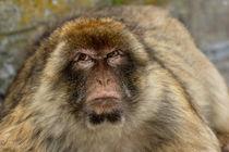 Rm-angry-gibraltar-rock-ape-wildlife-adl1428