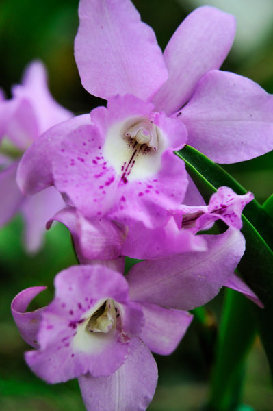 Purple-orchids-hawaii-rm-haw-d319216