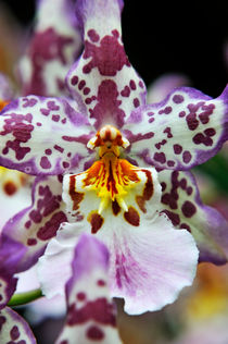 Purple and White Orchids by Sami Sarkis Photography