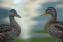 Portrait of two ducks on a riverbank. von Sami Sarkis Photography