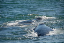 Two Southern right whale breaching (Eubalaena australis) by Sami Sarkis Photography
