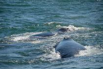 Two Southern right whale breaching (Eubalaena australis) von Sami Sarkis Photography
