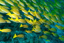 Rf-blue-stripe-snapper-sea-underwater-uwmld0011