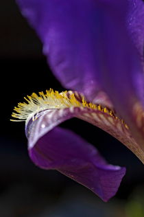 Petal of an iris in springtime. von Sami Sarkis Photography
