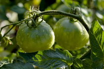 Drops on immature green tomatoes after a rain shower. by Sami Sarkis Photography
