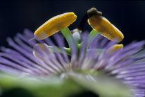 Stamen of a Passionflower (Passiflora edulis) von Sami Sarkis Photography