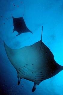 Two giant manta ray (manta birostris) von Sami Sarkis Photography