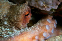 Eye of Common Octopus (Octopus vulgaris) von Sami Sarkis Photography